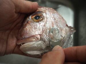 鯛アラ 鱗